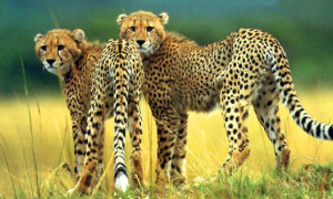 Insurance deal aims to protect Asiatic Cheetah in Iran