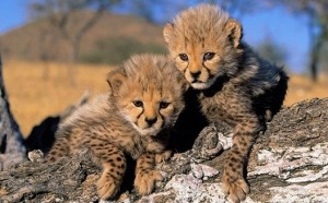 The number of cheetahs in the entire word has declined by 90 percent in the past century.