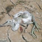 Hammoun-Lake_Birds_02